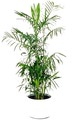 bamboo palmb wsindoorplants com au 10 plants can improve the feng shui of your home or office